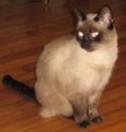 Siamese Cat Killed Saint Petersburg
